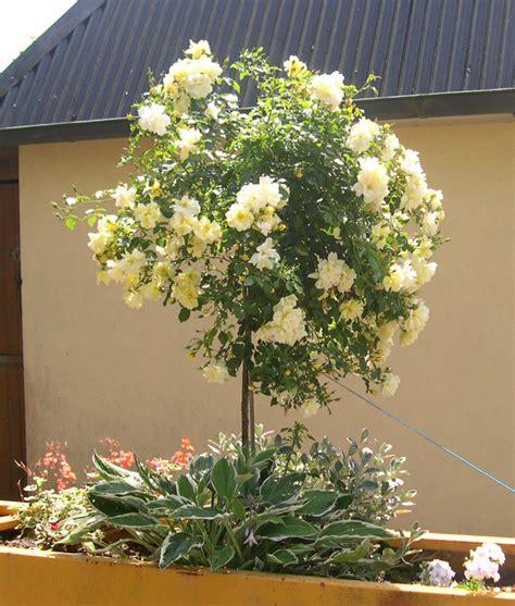 rosier tige ou rosier boule en pot d 233 coratif roseraie guillot