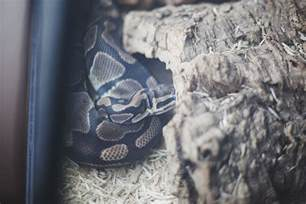 python shedding signs signs that a python is going to shed my pet python