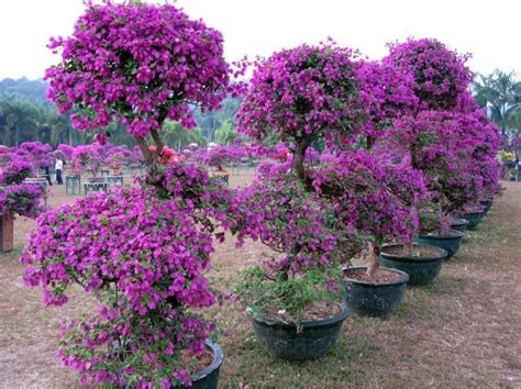 how to grow bougainvillea in pots the specimen below is not 20 it s a perspective