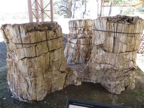 florissant fossil beds pair of redwoods settlers attempted to blast through