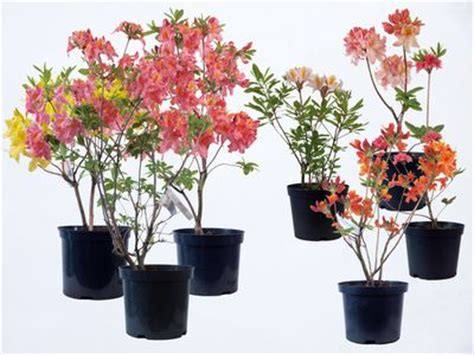azalea deciduous sun chariot from burncoose nurseries