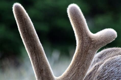 do deer shed their antlers wonderopolis