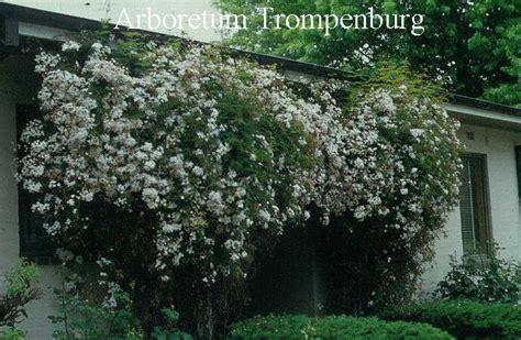 plantenwinkel jasminum www esveld nl
